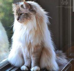 cat or lion