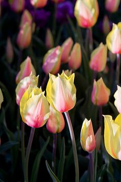 Pink  Yellow Tulips