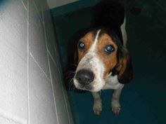 #FLORIDA #URGENT ~ Tabby ID A245840 is a 5mo Old female Treeing Walker Coonhound #Puppy dog #adoptable in #Pensacola - I've been here since May 1, 2013 & well... a shelter is a loud scary place- its dark in here with no windows... Can you help me find who it might be that'll love me & take me for a walk ? I'm at ESCAMBIA COUNTY FLORIDA ANIMAL SERVICES  200 West Fairfield Dr  #Pensacola FL 32501  phyllis_trout@co.escambia.fl.us    Ph 850-595-3075    PLEASE REPIN ALL DOGS/ Don't just 'like'…