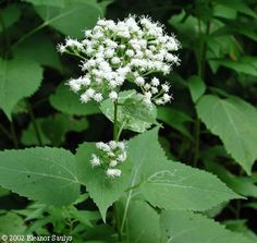 White Snakeroot Ageratina altissima (Eupatorium rugosum).  This is what is behind CCE office