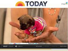 The Today Show Monday morning spotlighted the adorable Beyonce one of the world's smallest puppies.  Born in an animal shelter she is a survivor.
