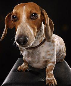 dachshund by Celeste Danger