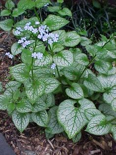 shade garden Jack frost brunnera- perennial grows well in shade, offers beautiful variegated foliage, and is deer resistant. Enjoys well-drained soil that is rich in organic matter. Foliage, Plants, Planting Flowers, Plant Finder, Woodland Plants, Woodland Garden, Moon Garden, Shade Plants, Shade Perennials