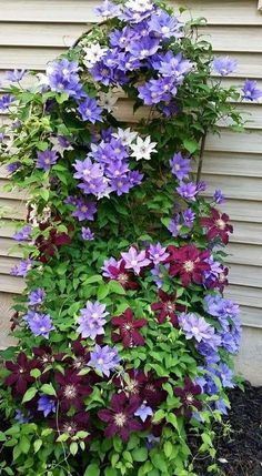 Climbing Clematis Plant Clematis Plant Outdoor Climbing Clematis Perennial Flower Plants 2Pcs Clematis Bulbs Red Clematis Flowers
