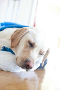 Sleepy labrador. What a hard day's work! I need some rest now.