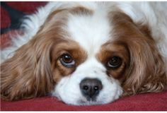 Cavalier King Charles. So beautiful!