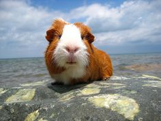Guinea Pig at the beach-wow that's rare to find :P