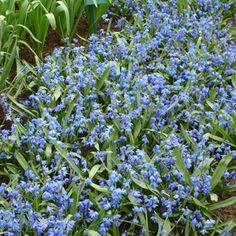 :: Scilla siberica - Blausternchen :: Gestalten :: Insektenfreundlicher Garten :: Hummel-Nährpflanzen :: Nektarspender für Hummeln - Pflanzenversand Gaissmayer