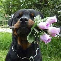 Roses for you! #cute #rottweiler