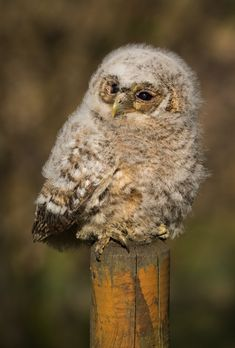 Wild bird from a nest box in the garden. Beautiful Owl, Animals Beautiful, Animals And Pets, Cute Animals, Baby Owls, Owl Babies, Tawny Owl, Owl Pictures, Kinds Of Birds