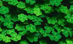 Clovers are not weeds - they were used back in the day to tell how good your lawn was; the more clovers the better the lawn mixture was. Only for marketing campaigns were clovers unrightfully labeled as a weed. Nowadays, most people know better and there are even supplements for your lawn to introduce new clovers to help you grow your lawn even more beautifully.