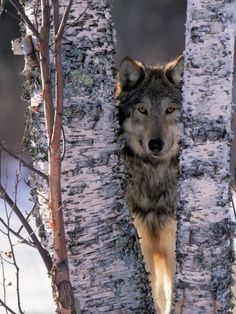Gray Wolf Near Birch Tree Trunks, Canis Lupus, MN Photographic Print by William Ervin at AllPosters.com
