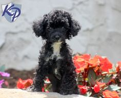Panther – Poodle – Toy Puppy www.keystonepuppies.com #keystonepuppies #toypoodle