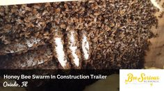 Orlando Bee Removal - Large Honey Bee Swarm and Hive In A Construction T...