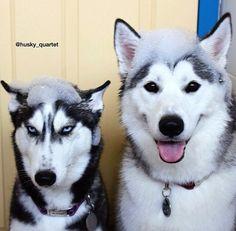 LOL -- the malamute (on right) is having a good time, while the Siberian husky (on left) is plotting revenge. On ne voit pas la vie de la même façon! Cute Husky, My Husky, Husky Puppy, Cute Puppies, Cute Dogs, Dogs And Puppies, Doggies, Corgi Puppies, Funny Dogs