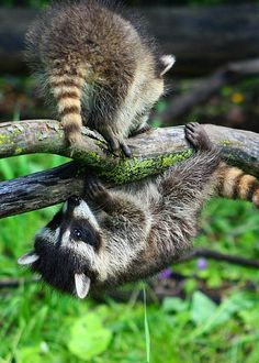 Raccoons playing!   - Explore the World with Travel Nerd Nici, one Country at a Time. http://TravelNerdNici.com