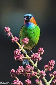 Red-necked tanager (Tangara cyanocephala)