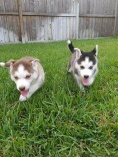 Yorkie Puppies For Adoption, Baby Yorkie, Teacup Yorkie, Yorkie Puppy, Puppy Finder, Pet Dogs, Pets, Wyoming, Husky