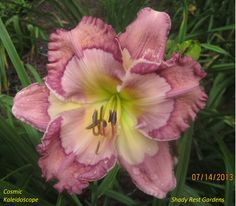 Daylily (Hemerocallis 'Cosmic Kaleidoscope') in the Daylilies Database (All Things Plants)