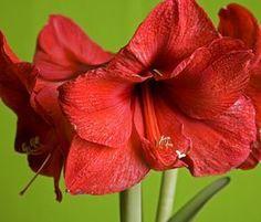 Virágzó amarillisz - A cserepet állítsa meleg helyre és sötétbe. Elárulok egy titkot. Én a szekrénybe szoktam a cserepet elzárni. Fontos, hogy a virágszár kifejlődéséig alig kapjon fényt, mert ha fényt kap, akkor a virágszár nem fejlődik ki, a virágok közvetlenül a talaj fölött fognak kibontakozni! Elsötétíthetjük a hagymát úgy, hogy fekete papírból készített süveget vagy cserepet borítunk föléje.