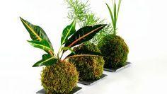 Plantas para crear kokedamas
