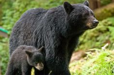Stop the Slaughter of Thousands of Black Bears Each Year | ForceChange