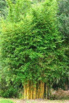 Bambusa eutuldoides viridi-vittata 7-12-2009.jpg 606×900 pixels