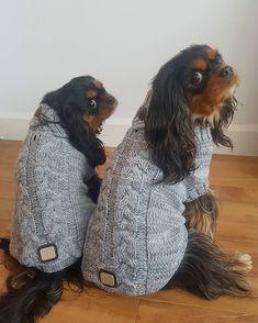 いいね!605件、コメント36件 ― Edgar & Pacane Cavaliersさん(@edgar.and.pacane)のInstagramアカウント: 「New @herkythecavalier stuff The chic verbier sweater by @gfpet #ckcspics #cavalierofinstagram…」