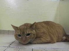 SAFE! TO BE DESTROYED 4/15/14 Manhattan Center  My name is ADRINA. My Animal ID # is A0996280. I am a spayed female org tabby and white domestic sh mix. The shelter thinks I am about 5.  I came in as a STRAY on 04/10/14 https://www.facebook.com/nycurgentcats/photos/pb.220724831278845.-2207520000.1397520383./773236946027628/?type=3&src=https%3A%2F%2Fz-1-scontent-b.xx.fbcdn.net%2Fhphotos-frc3%2Ft1.0-9%2F10271589_773236946027628_3661310011194718008_n.jpg&size=640%2C480&fbid=773236946027628