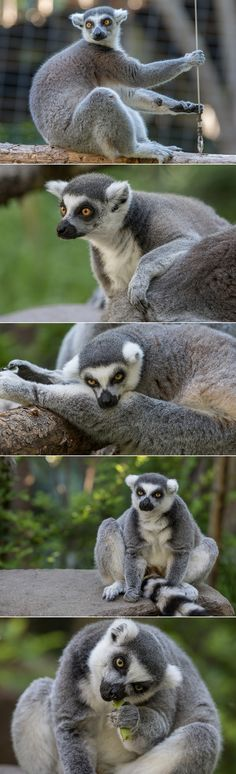 Today, the San Diego Zoo Safari Park's Lemur Walk offers an immersive experience to get up close to these most interesting mammals. You walk along a path inside the exhibit as five ring-tailed lemurs frolic among the trees and branches around you. (photos by Bob Worthington)