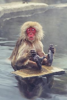 Japanese snow monkey in a hot spring. Peacefulness is a warm bottom...