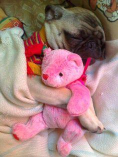 .Pug, with pink Teddy Bear.