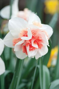 Daffodil 'Replete' - the pink daffodil. Absolutely stunning.