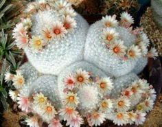 Mammillaria Estanzuelensis