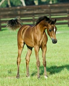 Arabian foal, with white stripe. I would love to see this little horse run! What a gorgeous shiny coat.