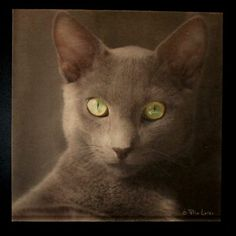 Russian blue, just a kitten, stares at you and absorbs the noise in the room. Russian Blue, 50 Years Old, Kitten, Organic, Cats, Room, Animals, Cute Kittens, Bedroom