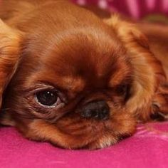 Who can resist the grumpy face? King Charles Spaniel, Cavalier King Charles, Grumpy Face, Spaniels, Beautiful Dogs, Woody, Cute Puppies, Dog Cat, Cute Animals