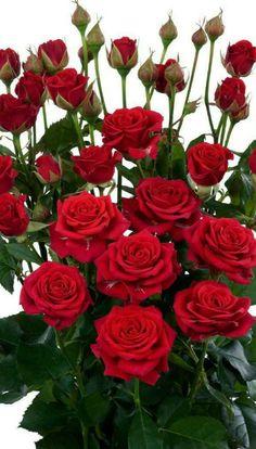 Beautiful Flowers Wallpapers, Beautiful Rose Flowers, Exotic Flowers, Amazing Flowers, Pretty Flowers, Red Flowers, Flower Images, Flower Pictures, Red Climbing Roses