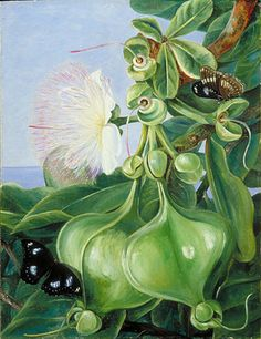 Flowers and Fruit of Barringtonia, Borneo by Marianne North