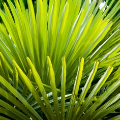Saw Palmetto Benefits the Prostate & Stops Hair Loss