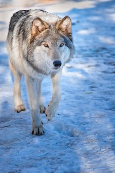 A male adult Timber Wolf steps into the first light of the morning sun on a winter's morning at the Colorado Wolf and Wildlife Center. The lack of factual knowledge and the stigma associated with this apex predator may serve as a contributing factor in the final demise of the wolf. - Divide, CO