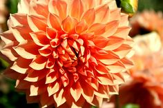 There's something about Dahlias that always put a smile on my face, especially the orange and yellow ones.