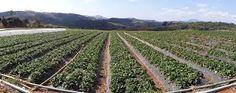 Resultado de imagem para Jundiaí S.P.-Brasil - Terra do morango - plantações de morango