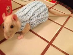 This rat who took his look from subway drab to runway fab. | 17 Animals Who Look More Fab In Their Christmas Sweaters Than You Ever Will