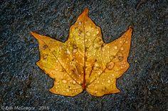 SOAKED - Composition Monday #PhotoOfTheDay #leaf #autumn #fall #rain #WaterIsLife #LeafTurning #folliage #outdoors #habitat #NewYork #SlideMountain #ecosystem #AmazingPlanet #NaturePhotography #Photography #NikonPhotography #Nikon #Art #ErikMcGregor #2016    © Erik McGregor - erikrivas@hotmail.com - 917-225-8963