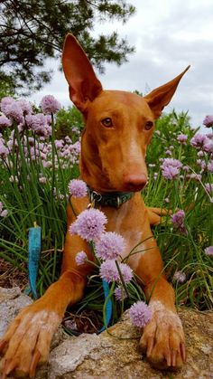 mostlydogsmostly:  (via Cuvée | 3 and a half years old | Pharaoh Hound)