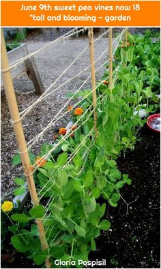 June sugar snap pea vines now 18 tall and thriving Garden vines Raised Vegetable Gardens, Vegetable Garden Planning, Vegetable Garden Design, Veg Garden, Edible Garden, Vegetable Gardening, Gardening Tips, Pea Trellis, Garden Trellis
