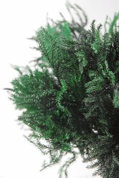 GREEN PINE FERN (PRESERVED)