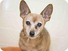*Senior* Phoenix, AZ - Chihuahua/Miniature Pinscher Mix. Meet JULIUS, a dog for adoption. http://www.adoptapet.com/pet/16985819-phoenix-arizona-chihuahua-mix