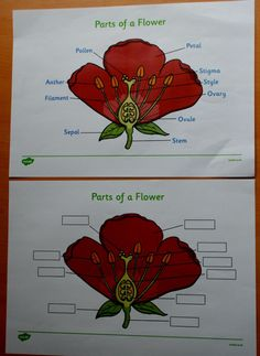 Free Twinkl Parts of a Flower diagram and label worksheet